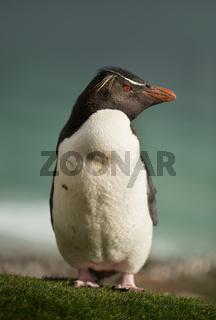 Close up of Southern rockhopper penguin