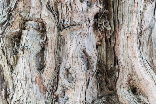 ancient sandalwood trunk closeup