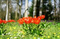 Tulpen im Stadtpark