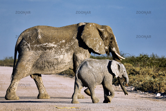 Elefanten, Etosha-Nationalpark, Namibia, (Loxodonta africana) | elephants, Etosha National Park, Namibia, (Loxodonta africana)
