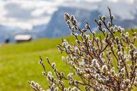willow catkin on the Alpe di Siusi