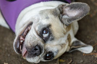 Playful Pied Frenchie Female Head.