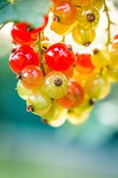 Berries of currant on bush, ripe and unripe fruits of red currant