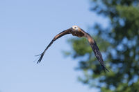 Rotmilan im Flug, Milvus milvus, Red Kite flying