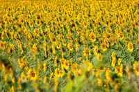 Field of blooming sunflowers on a sunset light