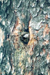 Alaskan chickadee builds nest in the hollow