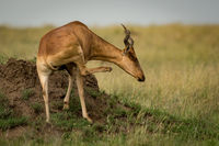 Hartebeest on termite mound scratches its neck