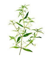 Hedyotis diffusa or Snake-needle grass