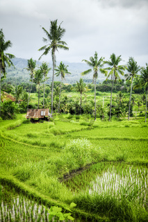 some rice fields at Bali