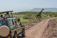 Masai giraffe crosses dirt track past jeep