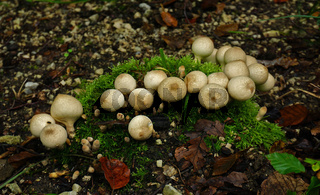 Flaschen-Stäubling, Lycoperdon perlatum, common puffball,