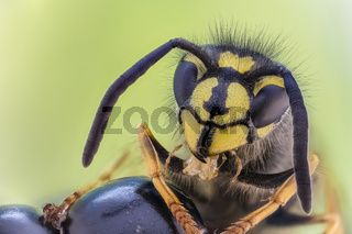 Gemeine Wespe, Vespula vulgaris, Common Wasp - Extreme Microscope Stacking