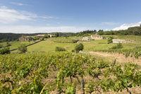 Weinberg in der Ardeche, Frankreich