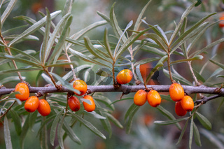 A branch with orange sea-buckthorn berries and green leaves in the summer garden.