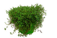 Isolated potted thyme herb