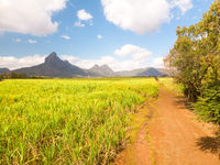 Beautiful bright green landscape of sugarcane fields in front of the black river national park mountains on Mauritius Island.