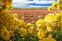 Field of flowering colorful buttercups