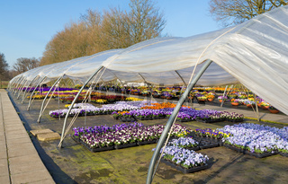 Open dutch greenhouse with  colorful flourishing violets
