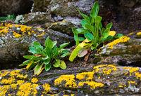 Kuestenvegetation  - Tintagel - Cornwall