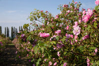 Roses in An Agricultural Field