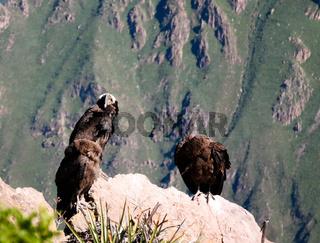 Condors above the Colca canyon at Condor Cross or Cruz Del Condor viewpoint, Chivay, Peru
