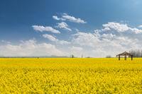 rapeseed flower field in sunny spring