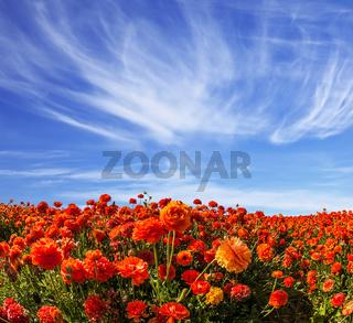 The blossoming fields of garden buttercups