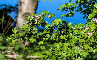 pink flower of midland hawthorn, English hawthorn (Crataegus laevigata) blooming in spring
