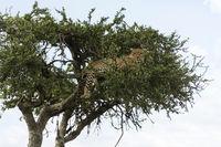 Leopard on acacia tree, Panthera pardus, Maasai Mara, Kenya, Africa.