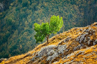 Tree on the Slopre of Rhodopes Mountains
