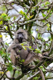 chacma baboon on tree, Ethiopia, Africa wildlife