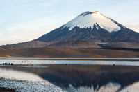 Flamingos on the background of snow capped Parinacota Volcano reflected in Lake Chungara, Chile