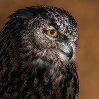 Eurasian Eagle Owl VI