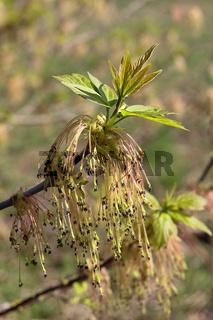 Männliche Blüten des Eschen-Ahorns, Acer negundo
