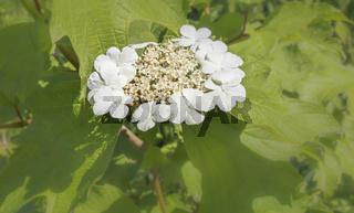 Tellerhortensie, (Hydrangea serrata), weiße Blüte, Nahaufnahme, Mai