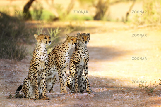 Drei Geparde, Kgalagadi-Transfrontier-Nationalpark, Südafrika, (Acinonyx jubatus) | three Cheetah, Kgalagadi Transfrontier National Park, South Africa, (Acinonyx jubatus)