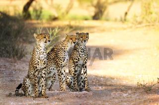 Drei Geparde, Kgalagadi-Transfrontier-Nationalpark, Südafrika, (Acinonyx jubatus)   three Cheetah, Kgalagadi Transfrontier National Park, South Africa, (Acinonyx jubatus)