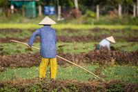 Vietnamese Workers In Rice Field