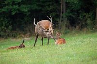 Red deer stag and doe kissing in wilderness with copy space