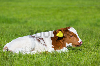 Newborn brown white calf lying in green grass
