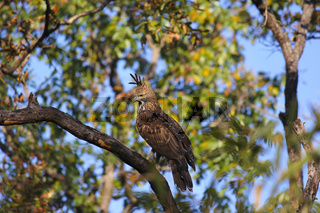 Changeable hawk-eagle, Nisaetus cirrhatus. Crested Hawk eagle. Kanha Tiger Reserve, Madhya Pradesh, India