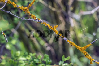 Xanthoria parietina coloured lichen