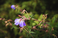 Meadow geranium. Blooming geranium with lilac flowers among the grass. Medicinal plant. Evening shot