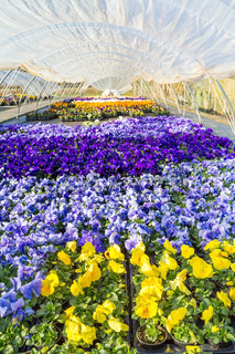 European greenhouse with  colorful blooming violets