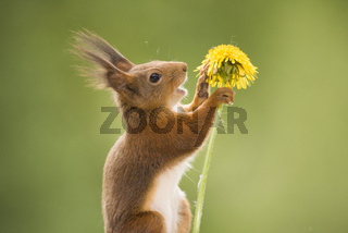 red squirrel is talking to an dandelion