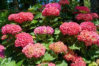 Hydrangea flowers. Sintra. Portugal