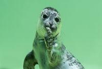 Junge Seehunde (Phoca vitulina) unter Wasser