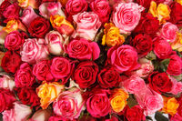 Pink and red rose flowers bouquet. Colorful romantic decoration of assorted roses. Nature floral background