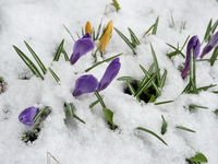 Crocus purple spring flowers