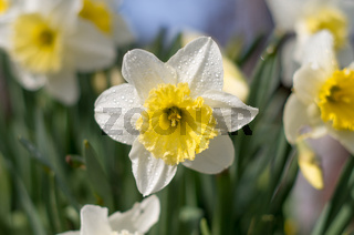 Daffodils flower in the morning sunlight. White daffodil (Narcissus)on green background.